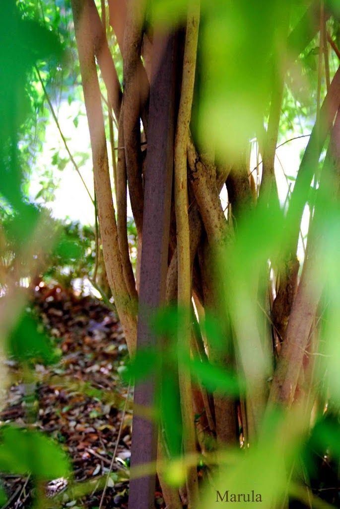 La semilla del bamb centro enki - Cultivo del bambu ...